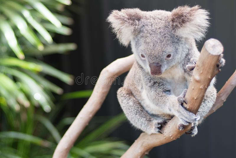 Koala en un ?rbol, en Australia fotos de archivo libres de regalías