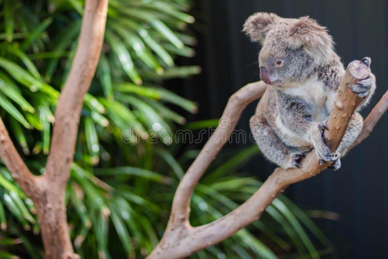 Koala en un ?rbol, en Australia fotografía de archivo