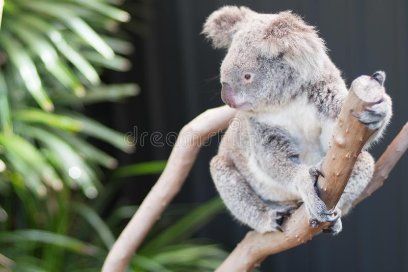 Koala en un ?rbol, en Australia foto de archivo libre de regalías