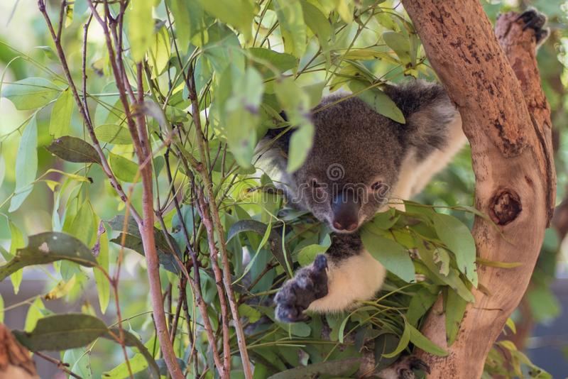 Koala en un ?rbol, en Australia imagenes de archivo