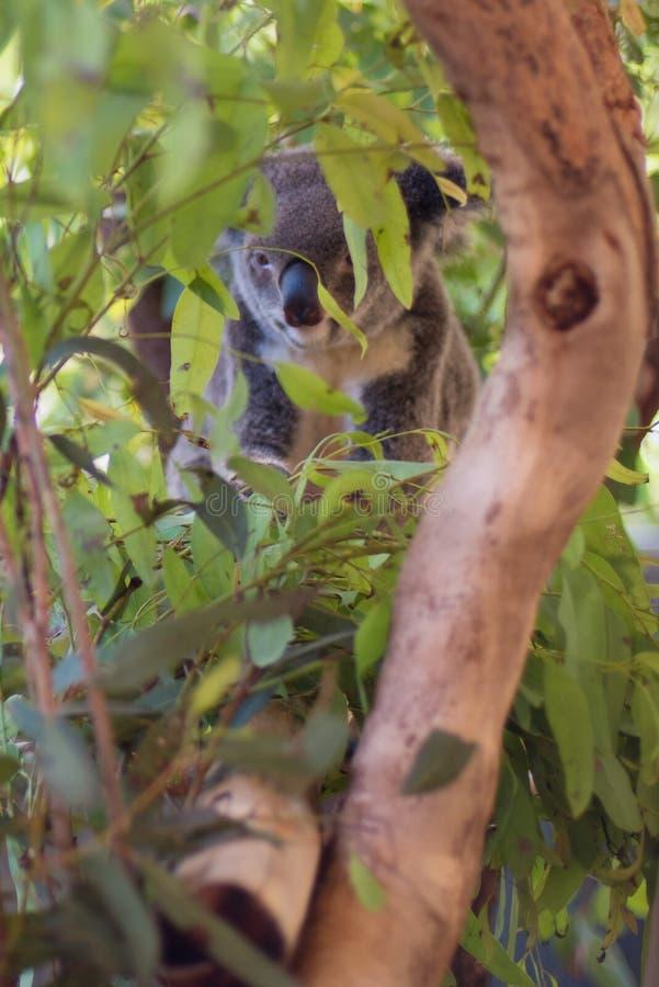 Koala en un ?rbol, en Australia imagen de archivo libre de regalías