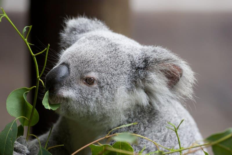 Koala-Essen stockfotos