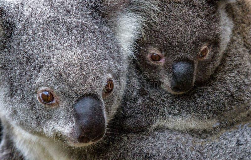 Koala et joey de mère photos libres de droits