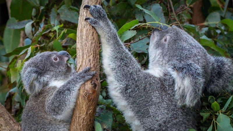 Koala et joey de mère se reposant côte à côte photo libre de droits