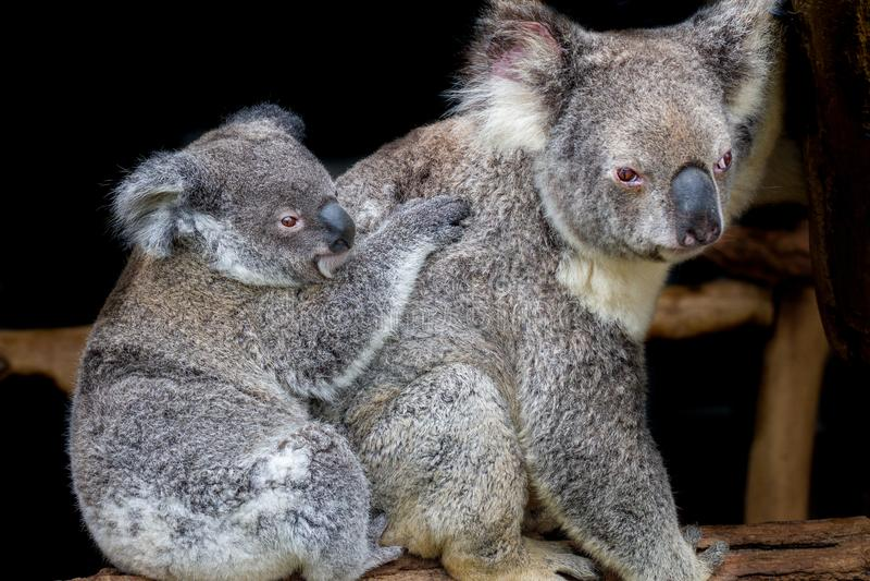 Koala et joey se reposant sur un faisceau photo stock