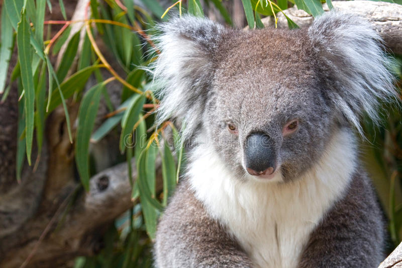 Koala in the eucalyptus leaves, Queensland, Austra. Koala in the eucalyptus leaves. Koala looks posed & coy with its head slight down & beautiful fluffy ears royalty free stock photo