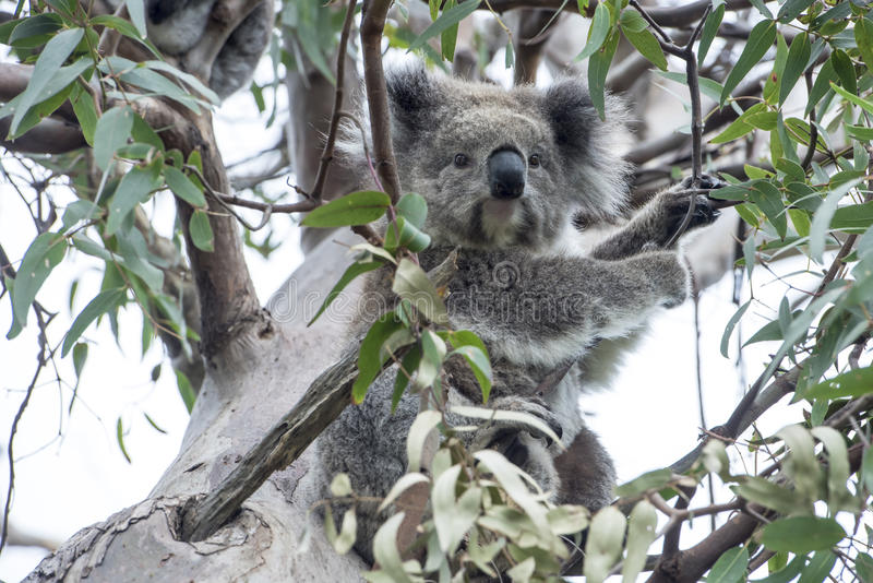 Koala in eucalyptus tree stock image