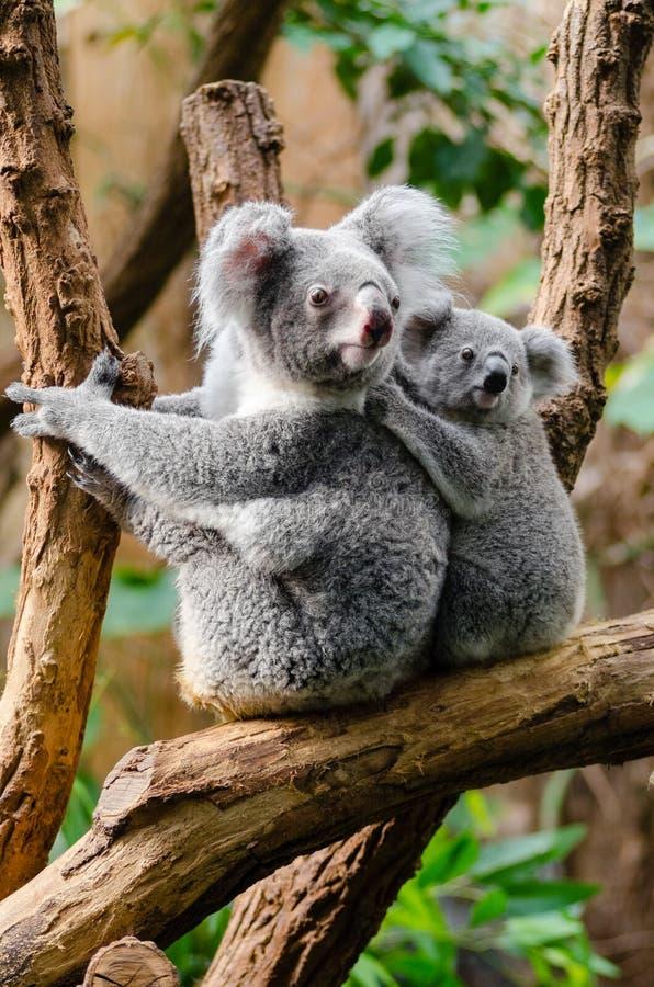 Koala-Familie stockfoto