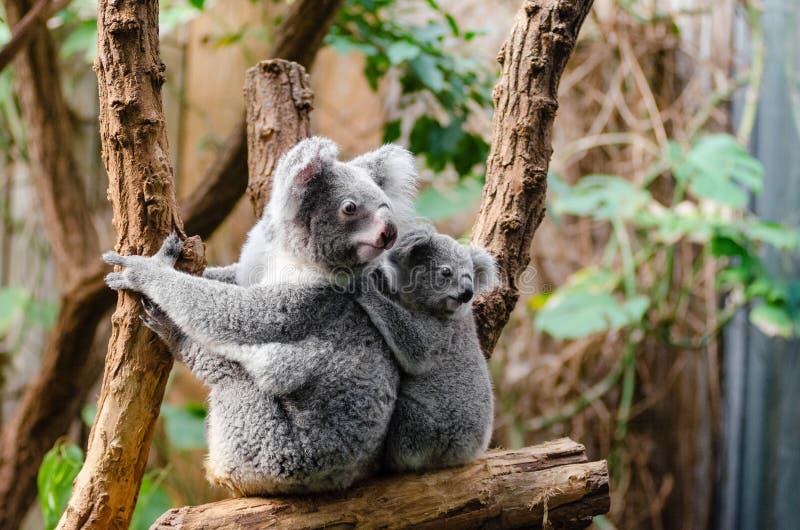 Koala-Familie lizenzfreies stockfoto