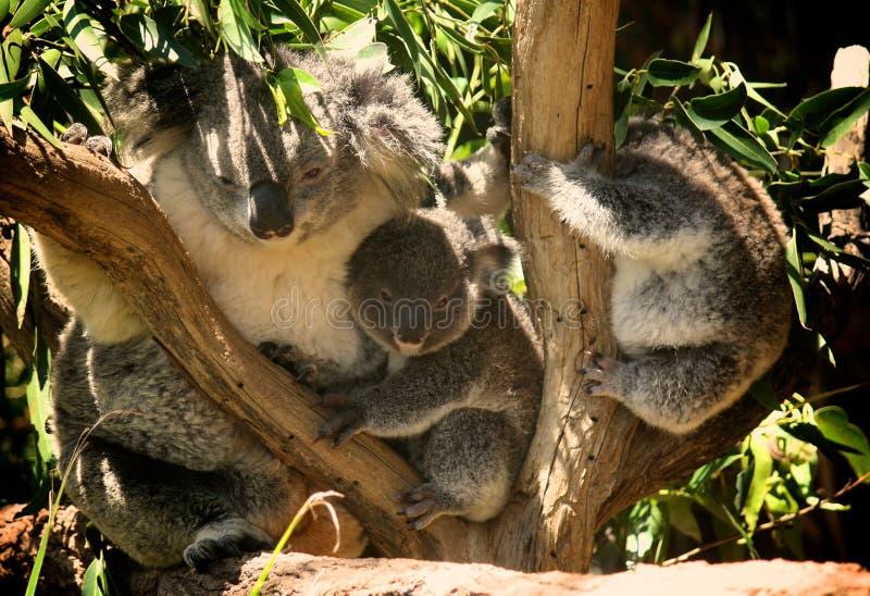 Koala Family. On the tree, Australian National Park royalty free stock image