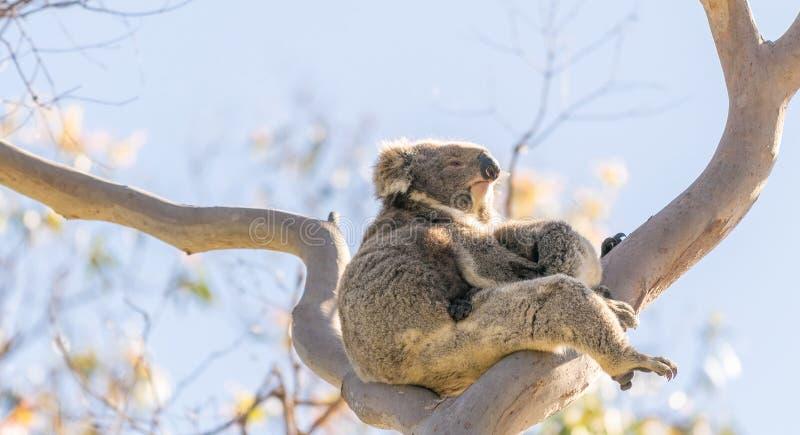 Koala family on a bare tree.  stock photography
