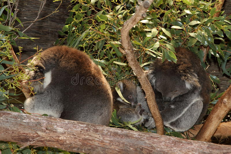 Koala family sleeps together. Koala family, including mum, dad and baby, cuddle up together for a midday sleep but junior doesn't want to sleep royalty free stock image