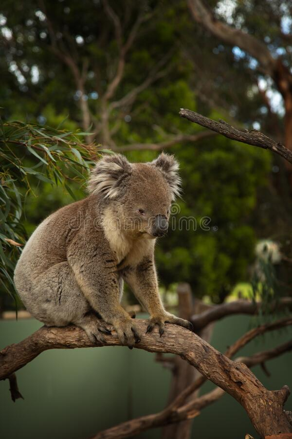 Koala gripping a branch tree in Austalia royalty free stock photography