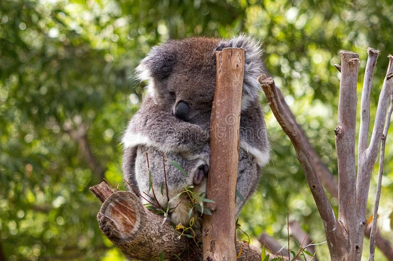 Koala in a gum tree having a nap, showing its pouch royalty free stock image
