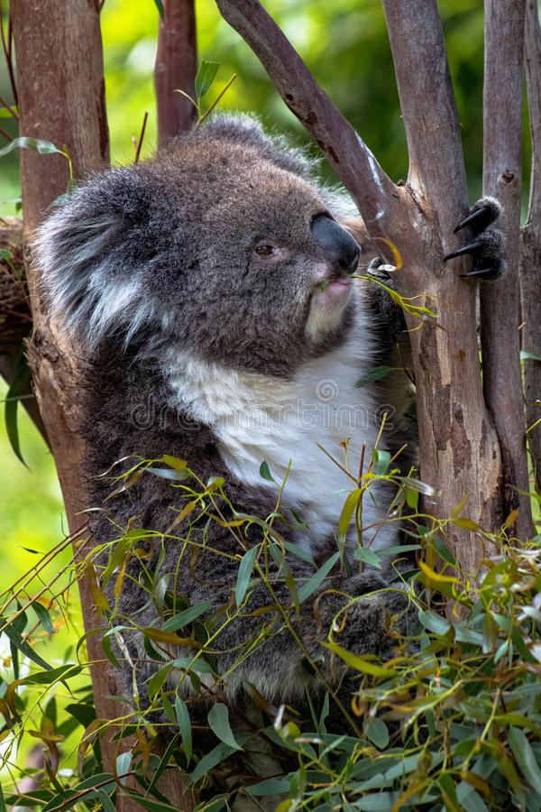 Koala in a gum tree having a snack, shallow depth of field royalty free stock photos