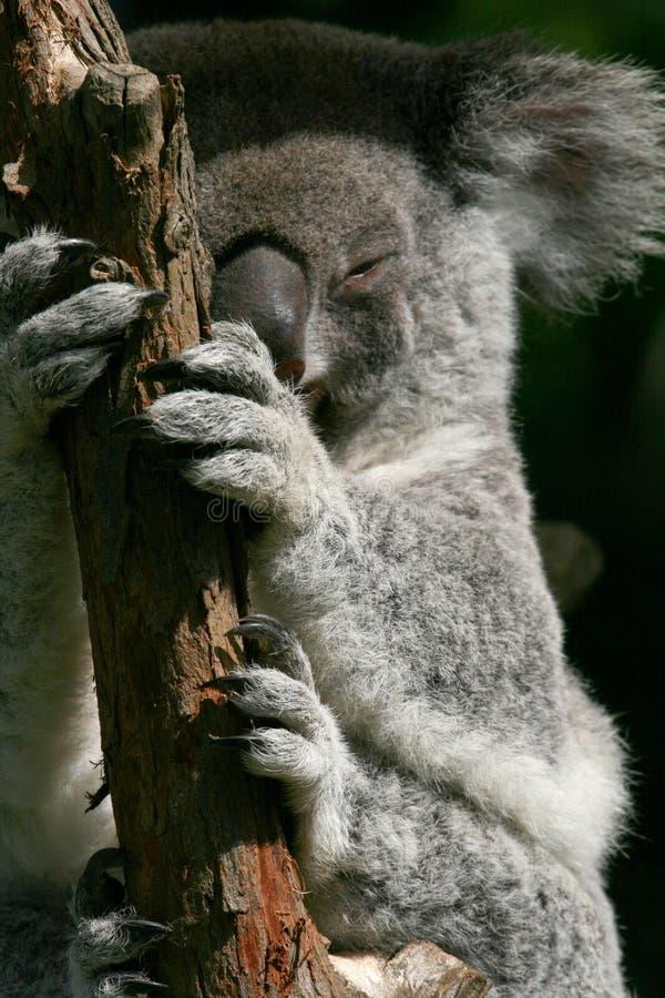 Koala hands and feets