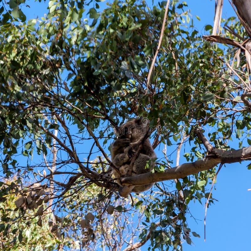Koala hiding high in on the eucalyptus tree. Australia, Kangaroo Island royalty free stock photos