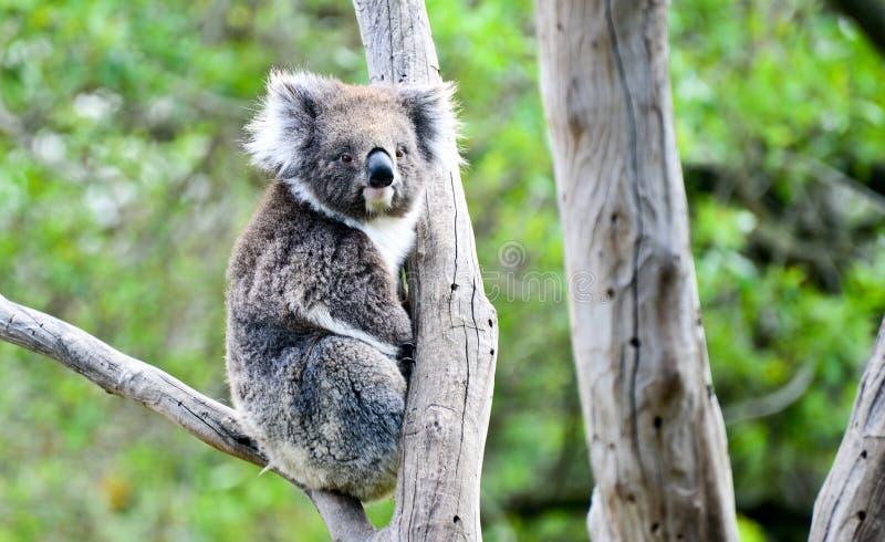 Koala i melbourne royaltyfri fotografi