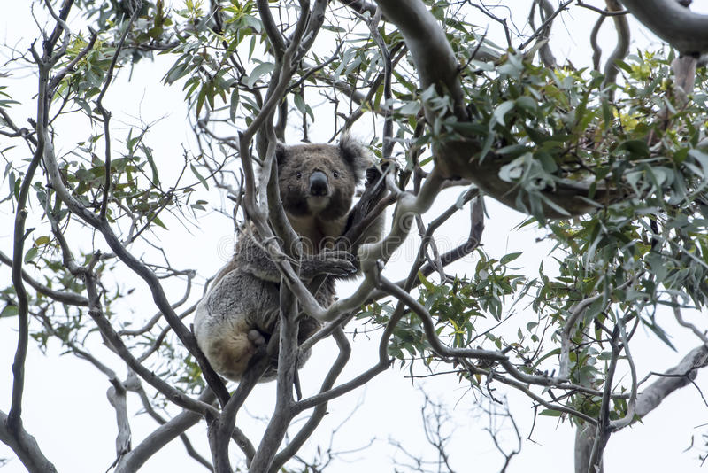 Koala i Tree royaltyfria bilder