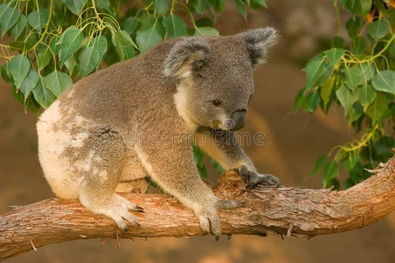 Koala Joey on Branch stock image