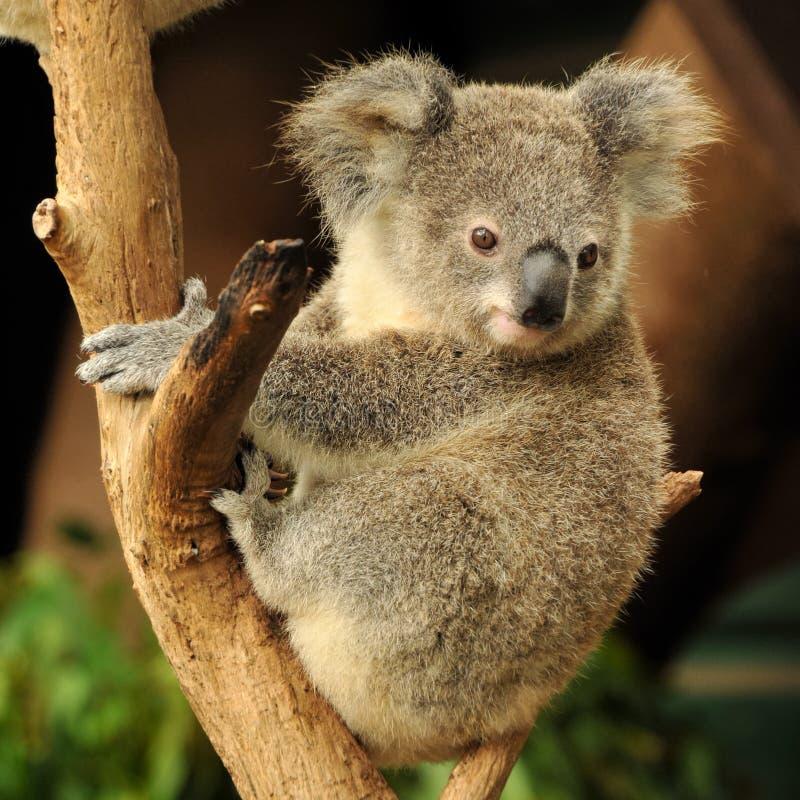 Koala joey sitzt auf einem Zweig lizenzfreies stockfoto