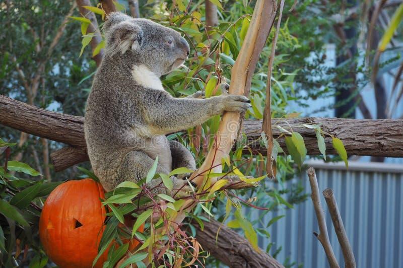 Koala. Bear eats snack in San Diego Zoo, California stock image