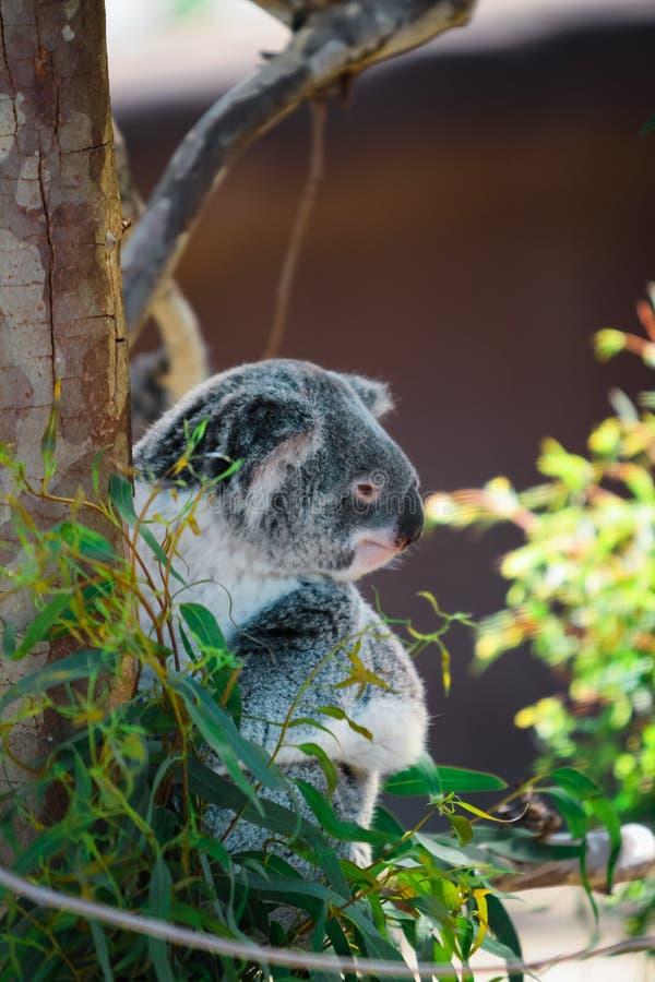 Koala 2 stock photo