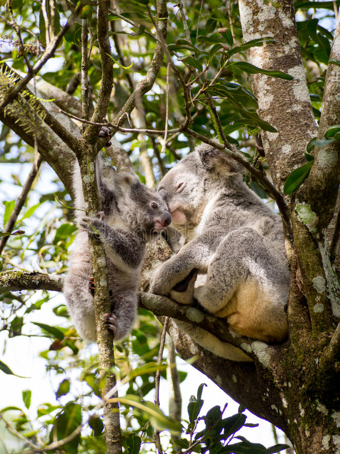 Koala : Mère et fils 002 images stock