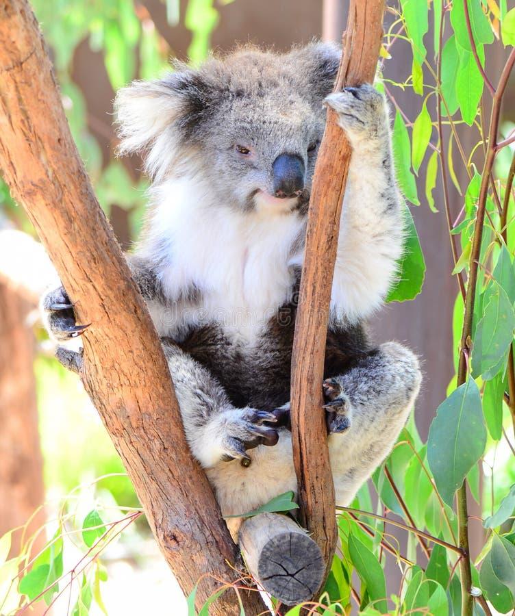 Koala in Melbourne stock afbeelding