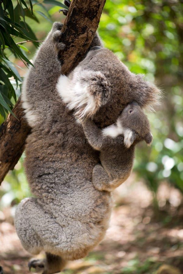 Koala met joey die op een boom beklimmen stock fotografie