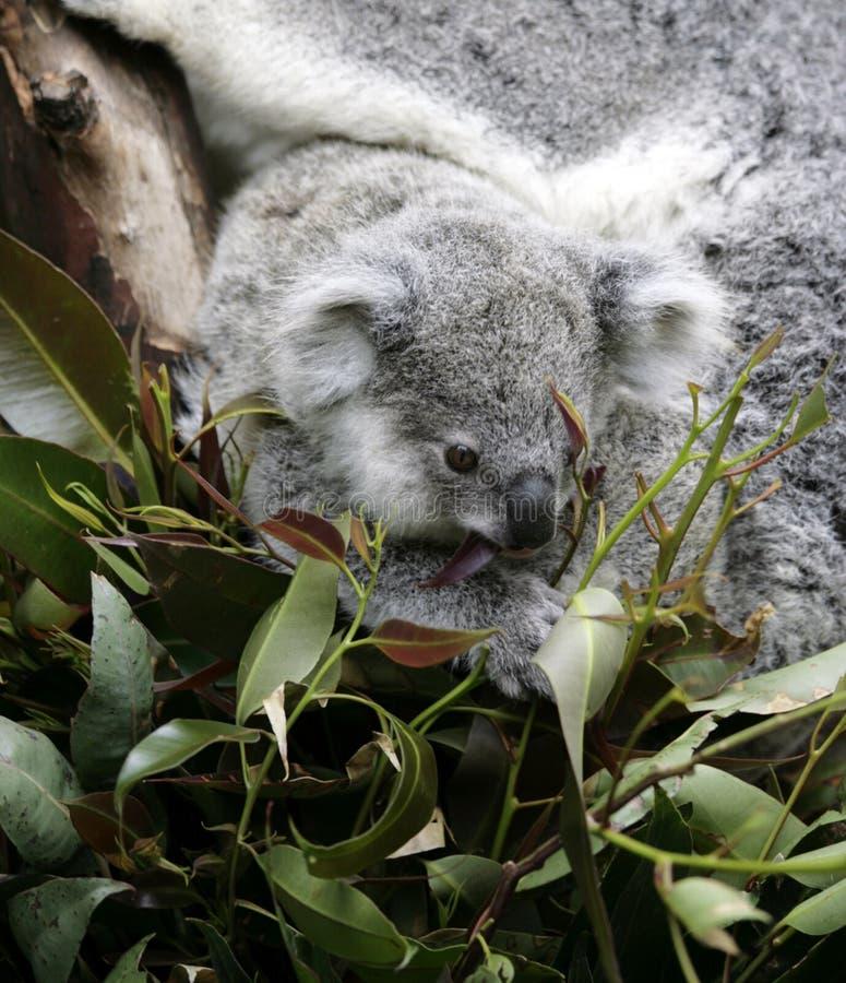 Koala mignon photographie stock