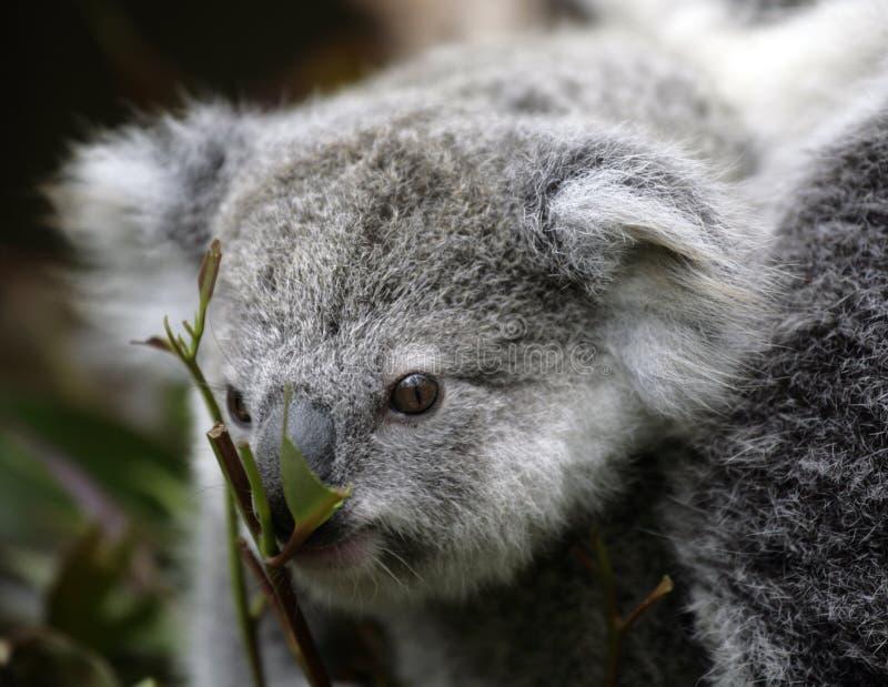 Koala mignon image stock