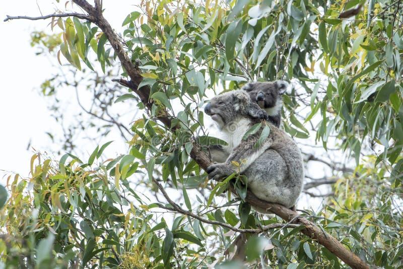 Koala mother, baby stock photography