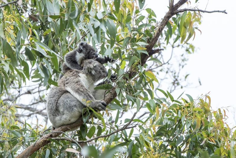 Koala mother with curious baby stock photo