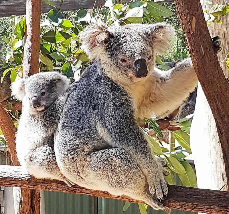 Koala Mum και μωρών στοκ φωτογραφίες