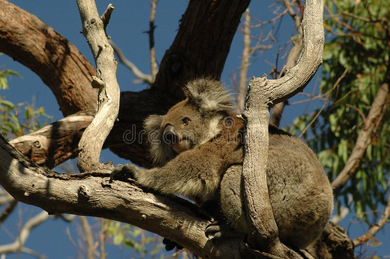 Koala in Nationalpark Australien Yanchep lizenzfreie stockfotos