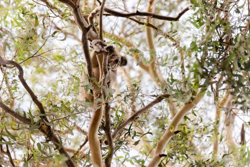 Koala nel selvaggio fotografie stock