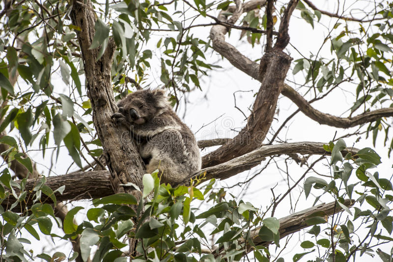 Koala niedźwiedź zdjęcia stock