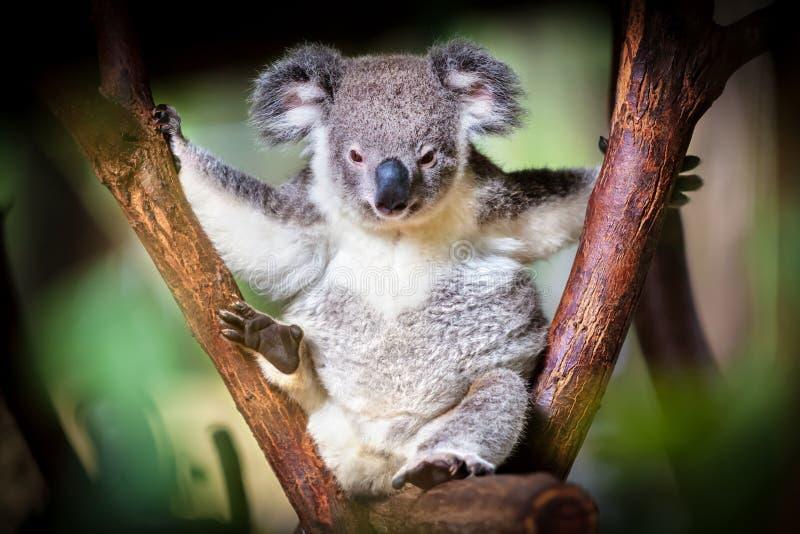 Koala niedźwiedź siedzi na bagażniku z zielonym i czarnym tłem fotografia stock