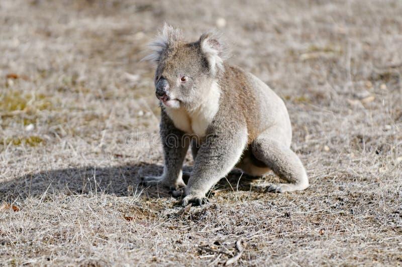 koala niedźwiedzi spadaj zdjęcia stock
