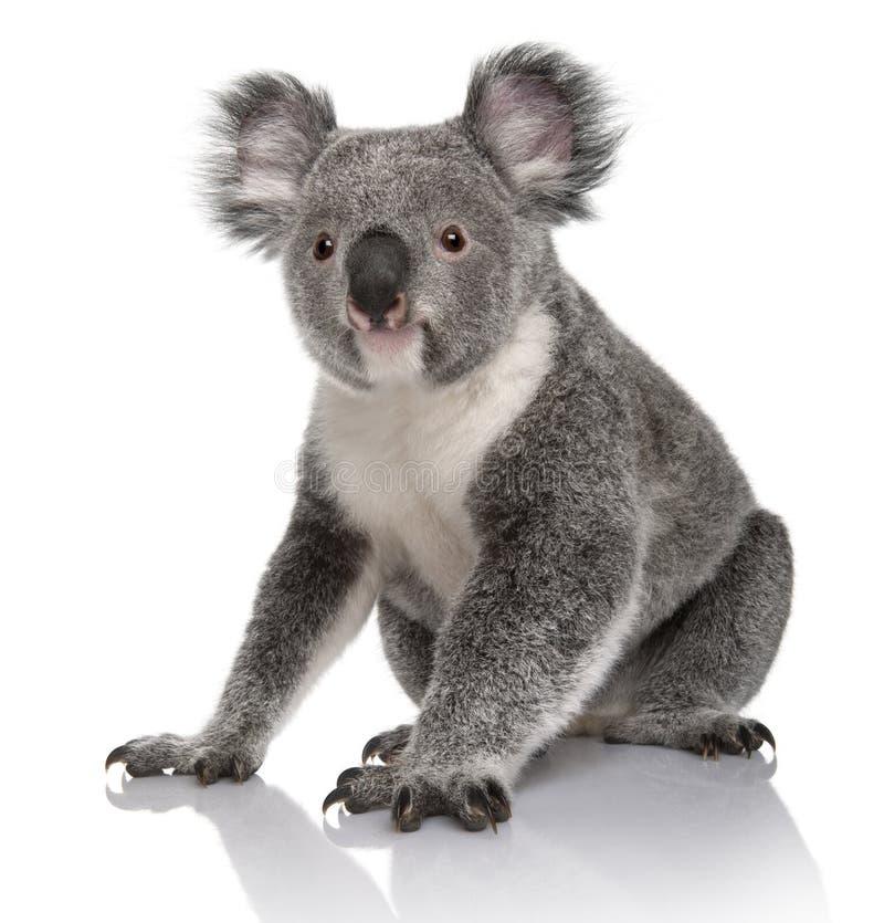Koala novo, cinereus do Phascolarctos, 14 meses velho fotos de stock royalty free