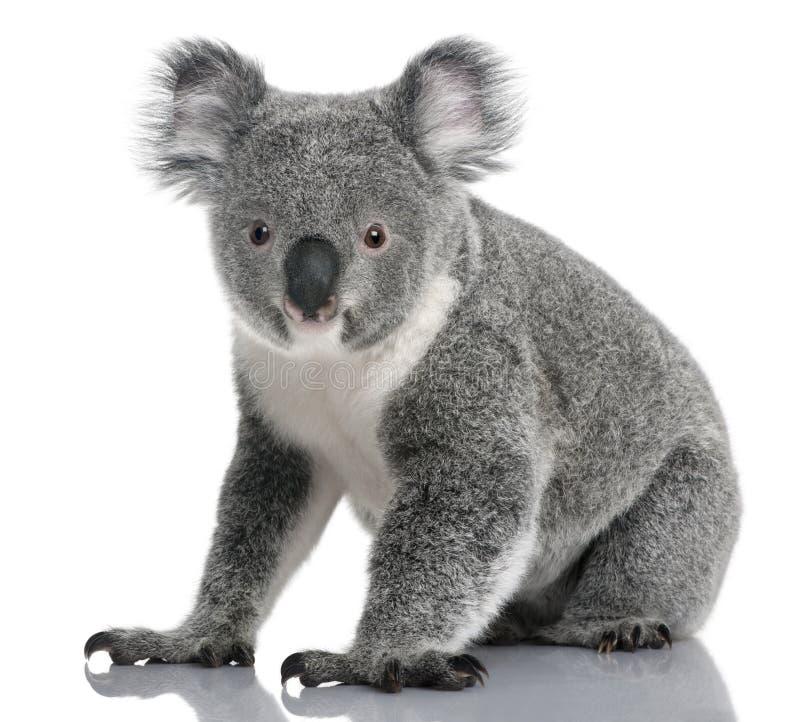 Koala novo, cinereus do Phascolarctos, 14 meses velho fotografia de stock