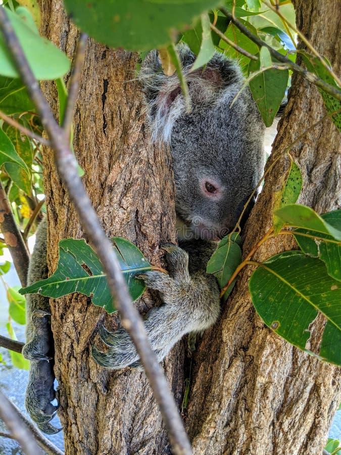 Koala omhelst een boom royalty-vrije stock afbeelding