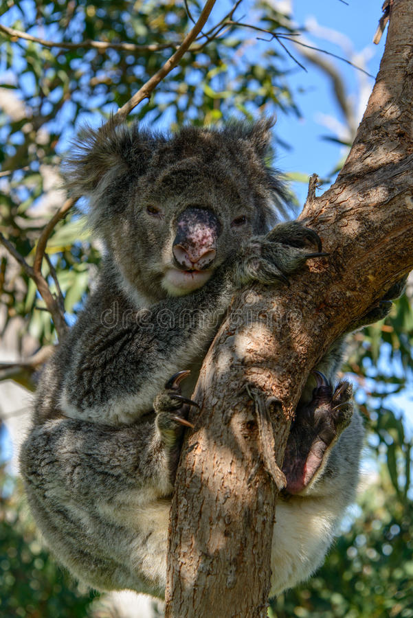 Free Koala On A Tree Stock Photography - 36633482