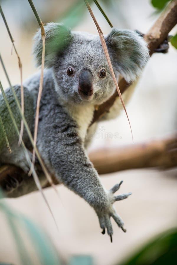 Free Koala On A Tree Royalty Free Stock Image - 42300236