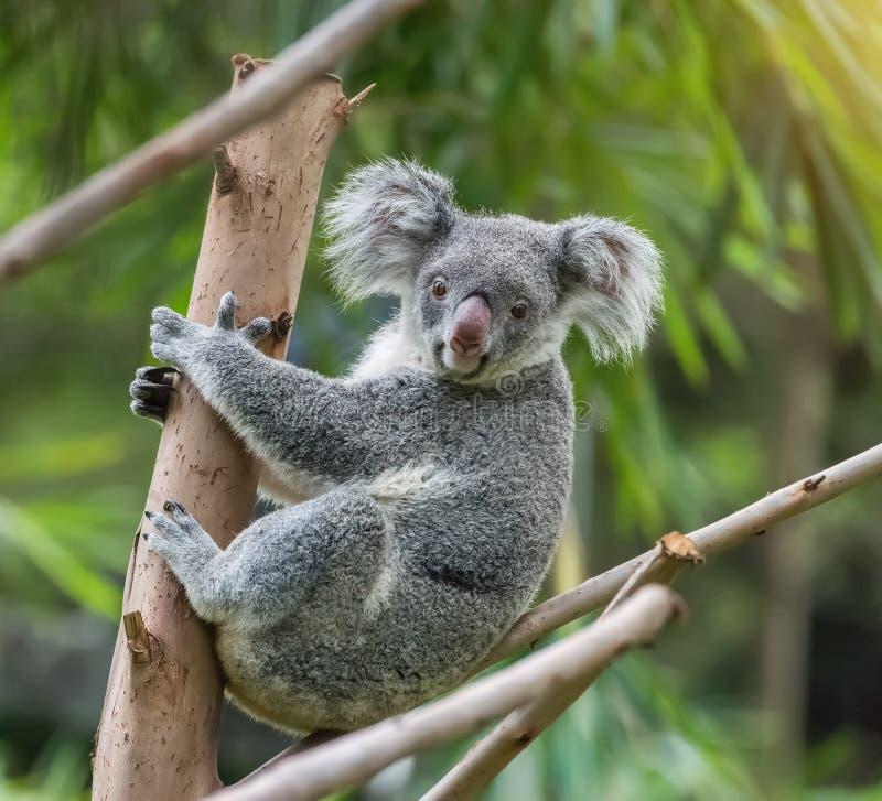 Free Koala On Tree Sunlight Royalty Free Stock Photo - 88243795