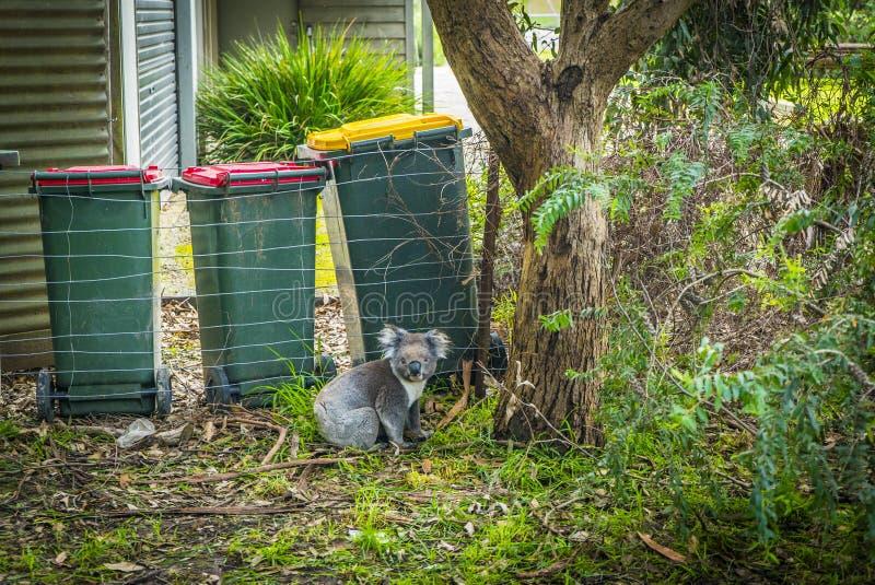 Koala op de straat stock fotografie