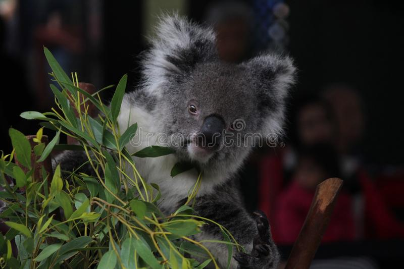 Koala op een boom royalty-vrije stock foto