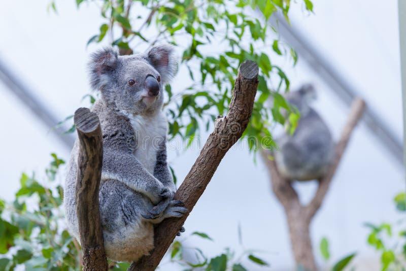 Koala op een boomtak royalty-vrije stock foto's
