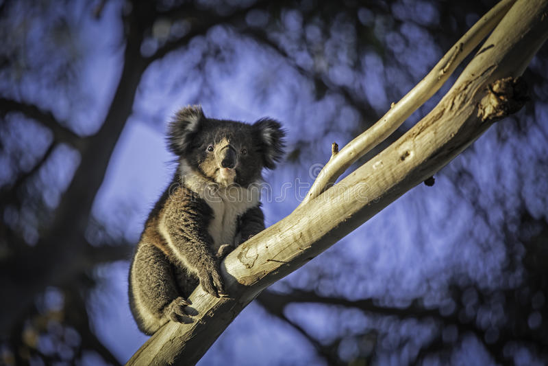 Koala på ett träd royaltyfria bilder